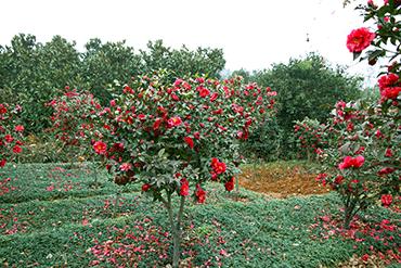 卧龙谷散养鸡 叶梅树